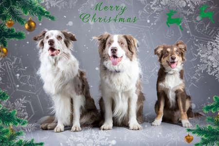 collies: Border Collies Christmas