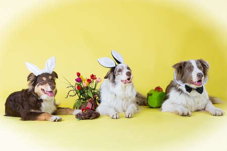 collies: Border Collies for Easter