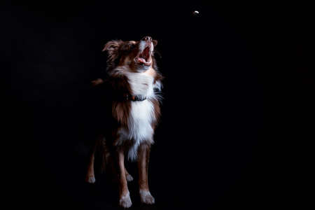 collie: Border Collie catches food