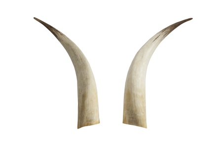 Big ivory tusks
