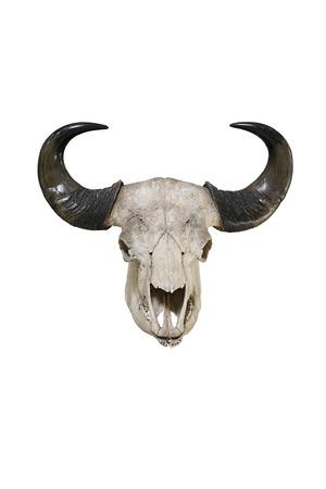 animal skull: Bull big horns