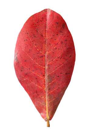 Red malabar leaf isolated on white background photo