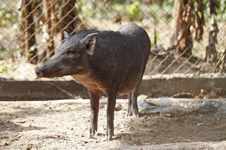 imprisoned: Boar in cage Stock Photo