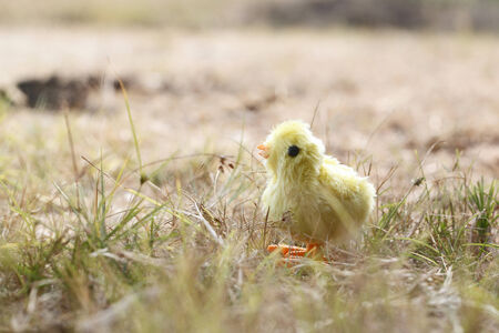 Chick toy in farm photo