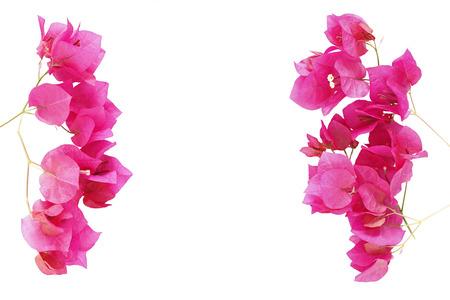 Bougainvillea flower frame isolated on white background Stock Photo