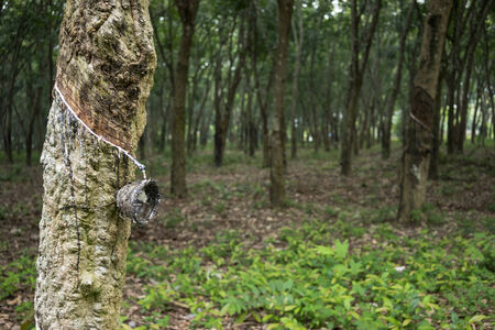 Bowl on rubber tree drop in farm photo