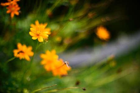 Orange cosmos flower (Soft focus)
