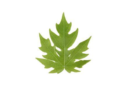 green papaya: Green papaya leaf
