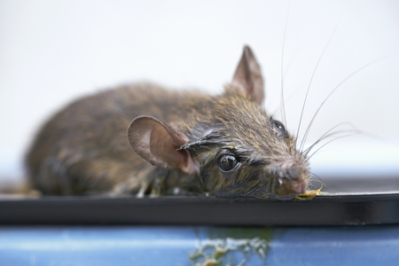 trap: Mice in glue trap