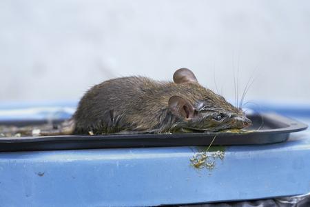 resistol: Los ratones de trampa de pegamento Foto de archivo