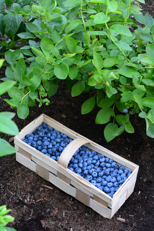 Wooden basket full of healthy bilberries put on a peat soil under the bush