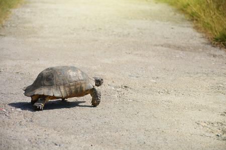 Testudo graeca tortoise - greek turtle walking cross the path Archivio Fotografico