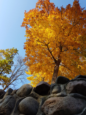 Lonely golden maple tree in autumn. A glance from the bottom