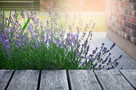 Blooming aromatic lavender plant in modern backyard at sunlight Stock Photo