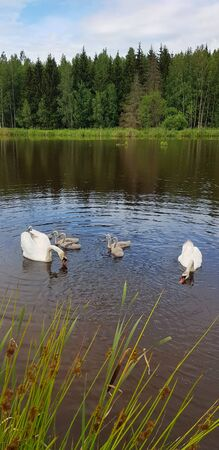 Swans family swimming in the lake