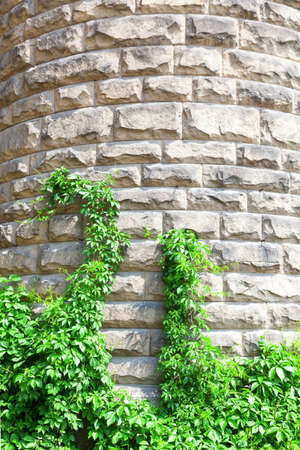 Natural background. A stone wall with green plants. Plants on the old wall. Archivio Fotografico
