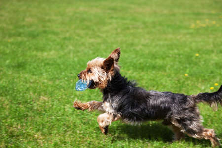 Yorkshire terrier running with a plastic bottle in his mouth. Concept of cleaning the environment of ubiquitous plastic.