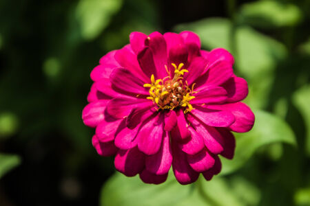 beautiful redpink flower with yellow polen photo