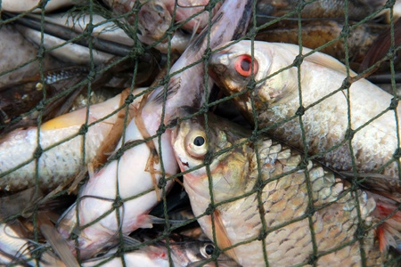 catches: fishes in the net