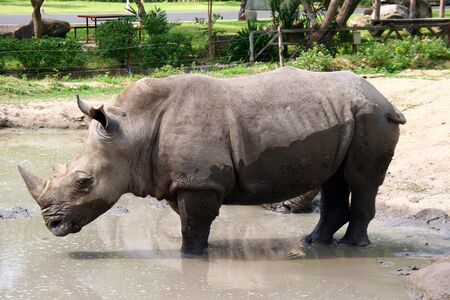 rhino in a pond in Thailand photo
