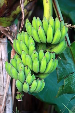 green bananas on banana tree in Thailand photo