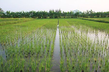 young rice field in Nakorn PratomThailand Stock Photo - 10986033