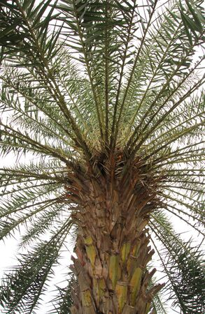 a palm tree in white background Stock Photo - 11122014