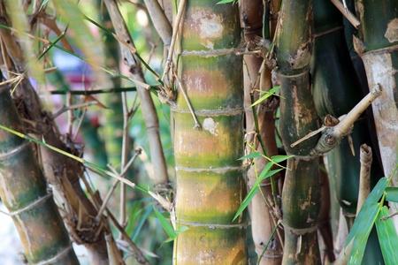 wallpaper of green bamboos tree photo