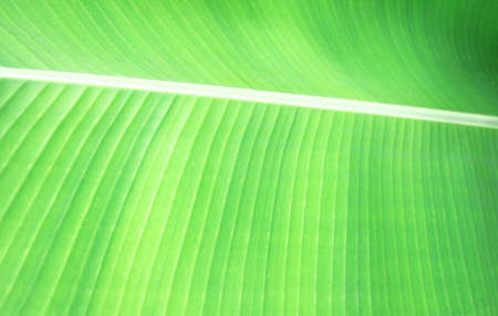 background of banana leaf texture photo