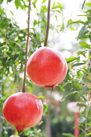 big red pomegranat on a tree photo