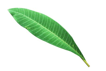 isolated green leaf on white background Stock Photo - 13794366