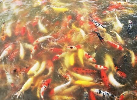 background of colorful carps in the water photo