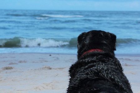 black labrador dog watch the sea photo