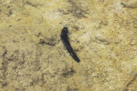 sanguijuela: salvaje leech mar en el mar