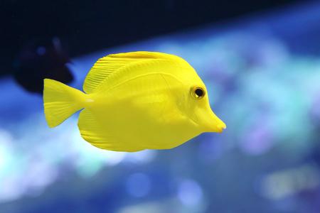 yellow tang: yellow tang fish or zebrasoma flavesenes in the aquarium Stock Photo