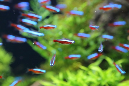 neon tetra: cardinal neon fish in the aquarium Stock Photo