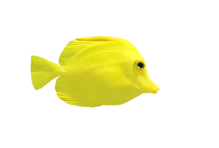 yellow tang: isolated yellow tang fish or zebrasoma flavesenes in the water Stock Photo