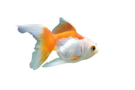 isolated gold fish in the tank photo