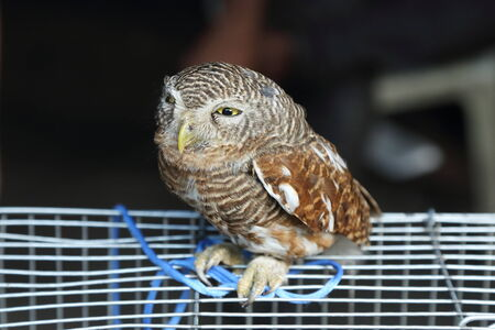 athene: the little owl on the cage