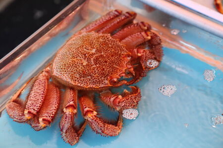 fresh japanese hairy crabs in the market photo