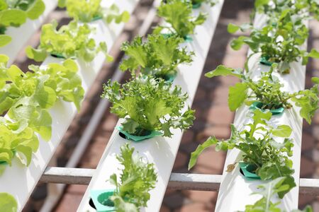 agriculture industrial: hydroponic vegetables in a farm