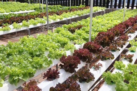 hydroponic: hydroponic vegetables in a farm