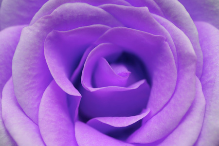purple rose: macro image of purple rose Stock Photo