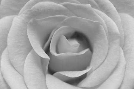 macro image: macro image of  white rose