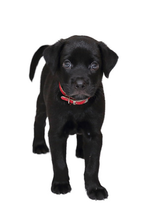 labrador: isolated black labrador puppy on white background