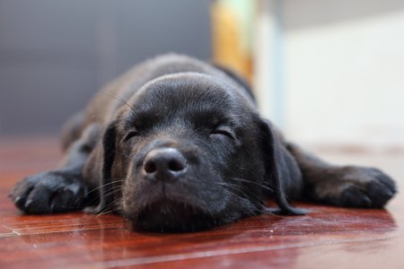 黒のラブラドールレトリバーの子犬を眠っています。
