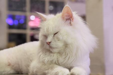 persia: white persia cat Stock Photo