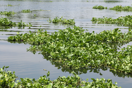 water hyacinth: water hyacinth plant floating on a river