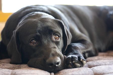 noir labrador retriever dormir sur le canapé Banque d'images