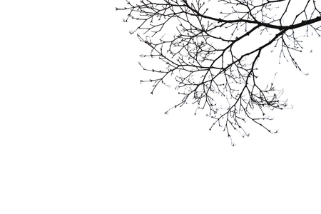 dry: silhouette dry tree on white baclground Stock Photo
